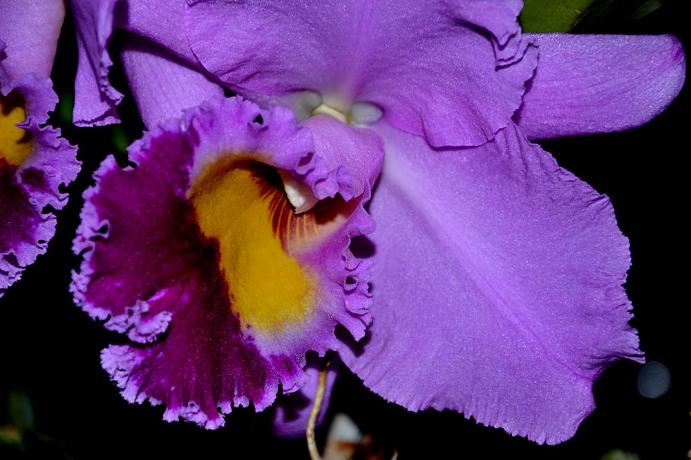 Cattleya – Bom dia