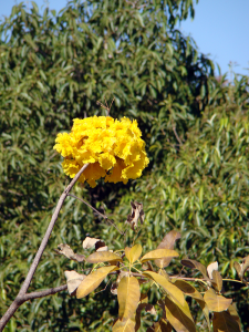 Ipê amarelo-close