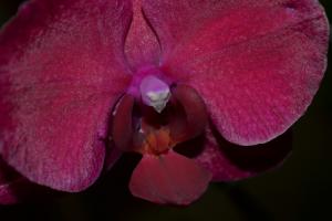Phalaenopsis RUBI DOURADO