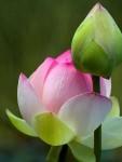 Flor de lotus botoes