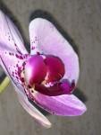 Orquidea Lilas
