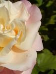 Rosa amarela rosa-Luciano