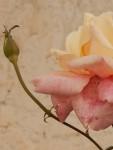Rosa e botao-Luciano