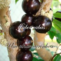 Jaboticabas – Um olhar carinhoso