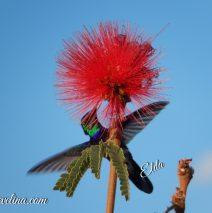 Calliandra e o Beija-Flor
